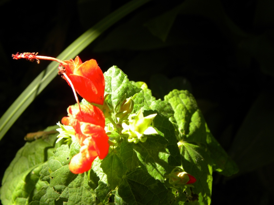 Turk's Cap (LOL! The flower totally looks like it's wearing a tiny fez.)