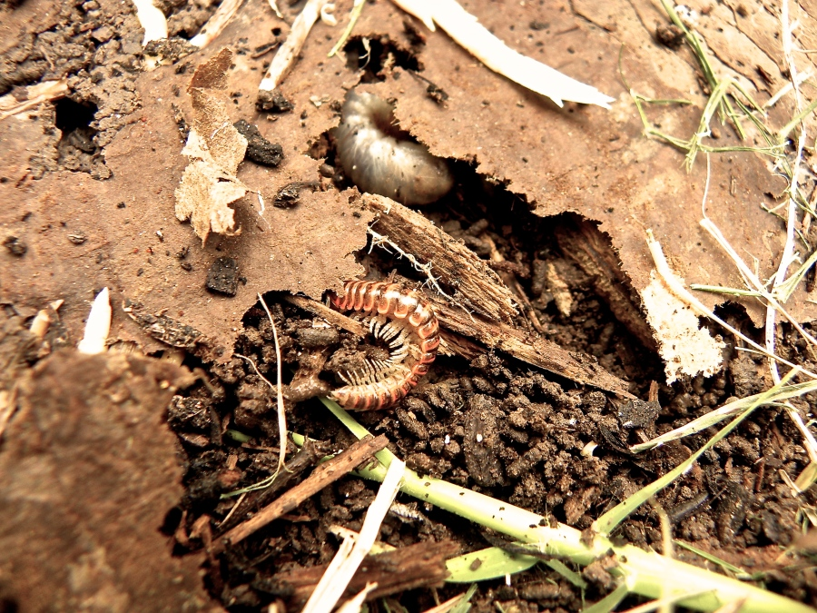 A nasty grub and a millipede.