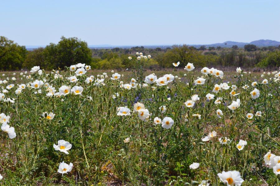 Field o' poppies