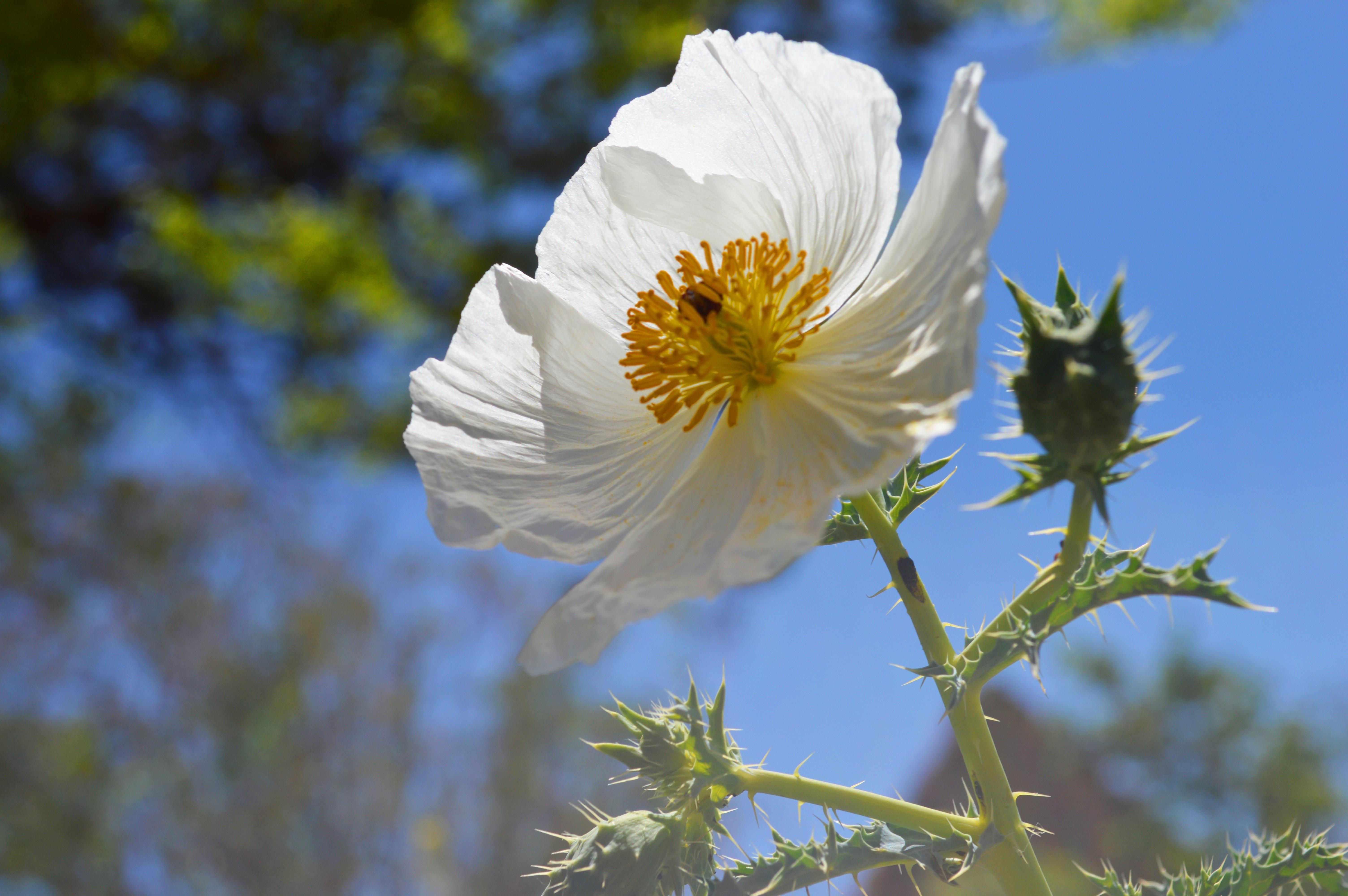 White Prickly Poppy Splitshot