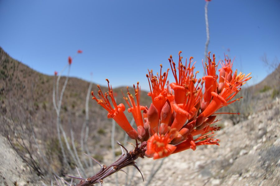 Ocatillo flower on the Franklin Mountains