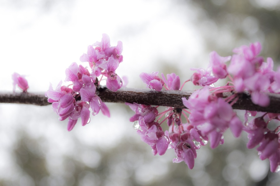 Red bud bloom