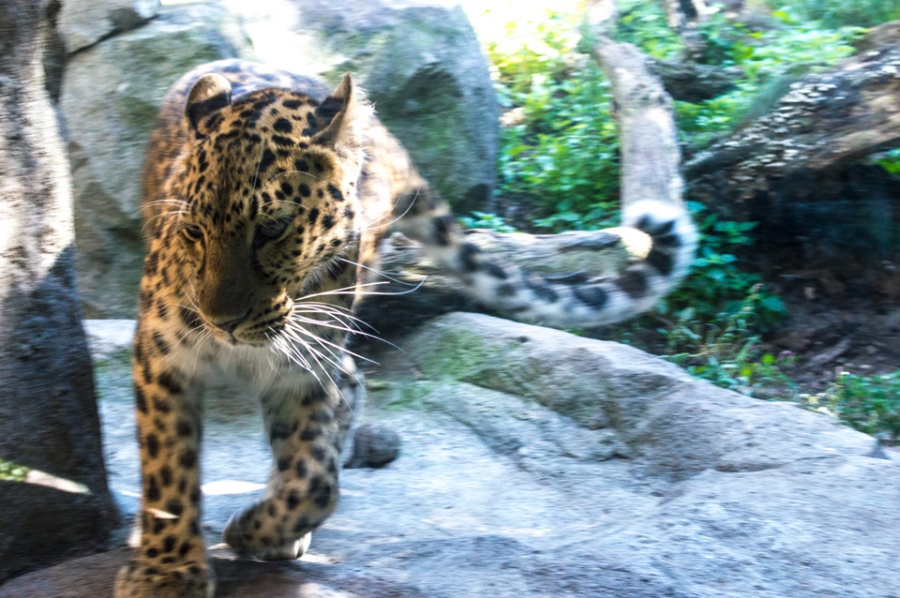 Pacing Jaguar at the Minnesota Zoo