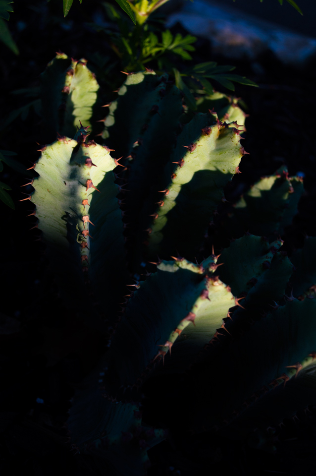 evening-cactus