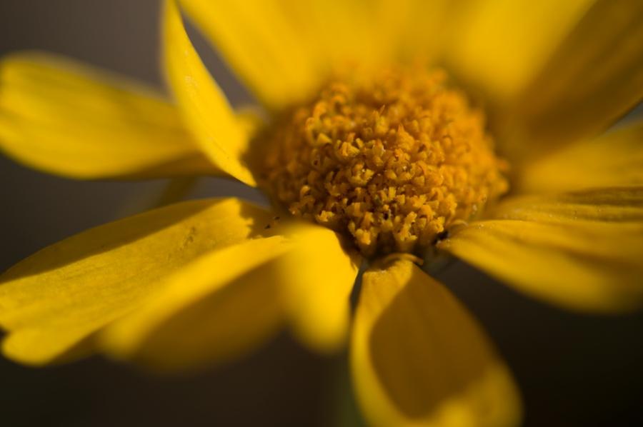 yellow-nerve-daisy