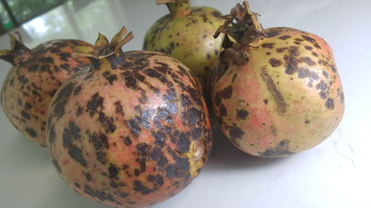 black-spot-pomegranate