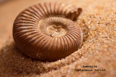 ammonite-in-sand-web